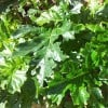 Re: Help Identifying poisonous plant please (01/07/2012)