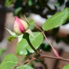 Rose identification (23/08/2012)