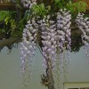 Dead Wisteria need to replace