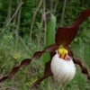 Cypripedium - Lady Slipper Orchids (02/03/2013)