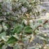 Unknown evergreen shrub - assistance required (30/04/2013)