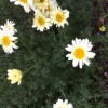 Yellow daisy like plant. Any ideas what it might be?