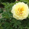 Japanese Tree Peony 6 -  High Noon
