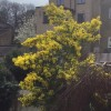 This plant is growing in my neighbours in Camberwell, London - truly spectacular in the sun shine - a very cheery winter flowerer
