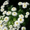 Small Chrysanthemum with daisy colour