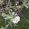 Please could you help with identification of this flowering tree