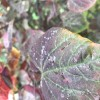 Sticky white blobs on Cercis (Forest Pansy)