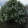 Help identifying this shrub /tree please (31/05/2010)