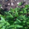 PLEASE help me ID this plant! (04/05/2011)